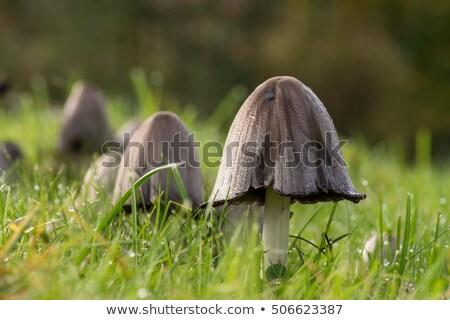 inky cap or Coprinopsis atramentaria in forest Stock photo © LianeM