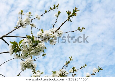 Blossom-covered branches of a Penny cherry tree Stock photo © sarahdoow