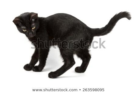 白 小さな 猫 黒 尾 演奏 ストックフォト © vapi