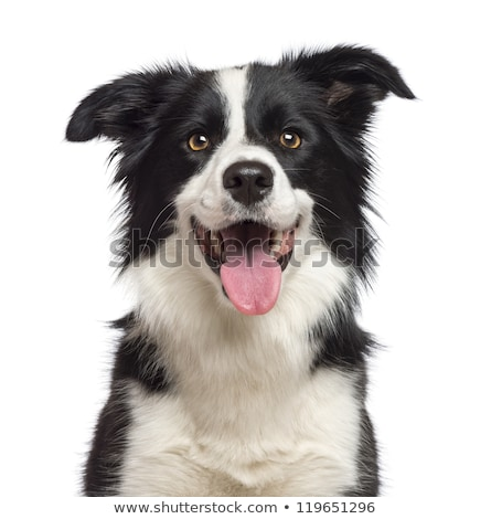 Head shot Border Collie on white Stock photo © CatchyImages