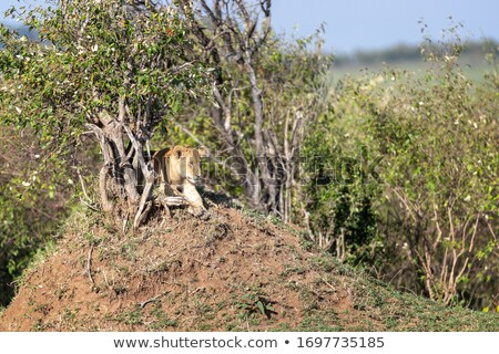 Lioness laying under a bush in the shade. Stock photo © simoneeman