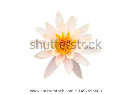 white waterlily with bees stock photo © ansonstock