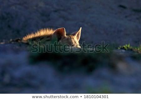 гиена · ходьбе · зеленый · парка · Safari · тесные - Сток-фото © photoblueice