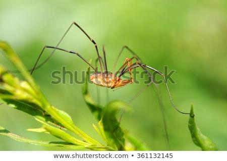 longues · jambes · araignée · vert · nature · jardin · printemps - photo stock © sweetcrisis