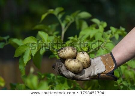 три · Sweet · картофель · изолированный · белый · фон - Сток-фото © givaga