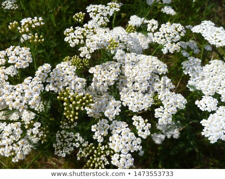 Yarrow plant flower head  Stock photo © 3523studio