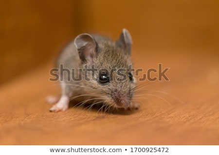 huis · muis · afbeelding · klein · huisdier · aanraken - stockfoto © gorgev