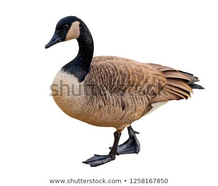 ストックフォト: ガチョウ · カナダ · 自然 · 鳥 · 屋外