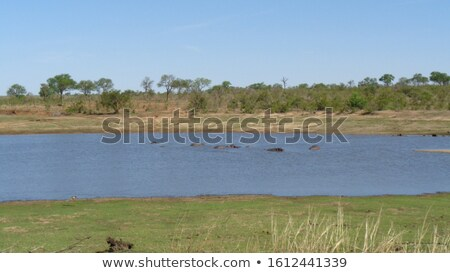lots ofswimming Hippos Stock photo © prill