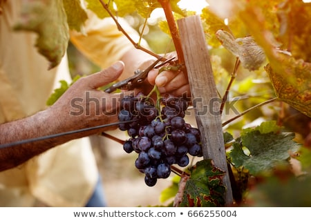 videira · grande · verde · cultivado · uva · natureza - foto stock © photography33