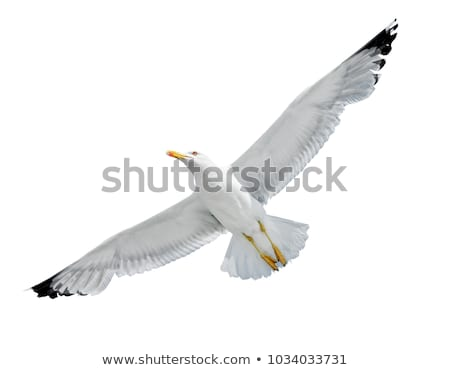 Flying seagull isolated on white background Stock photo © BSANI
