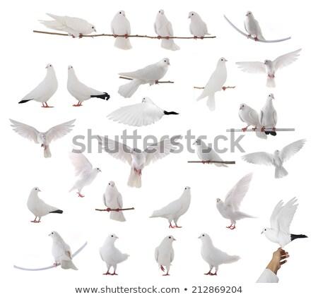 witte · duif · kooi · vergadering · top - stockfoto © tepic