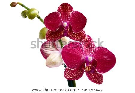 Rood orchidee bloem bloemen schoonheid Stockfoto © stocker