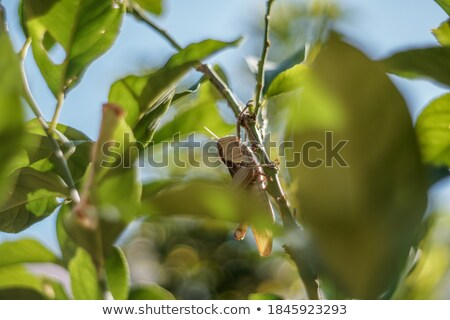 locust sits on a branch of lemon tree stock photo © discovod