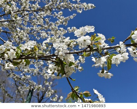apple tree in full blossom against a clear blue sky stock photo © phila54