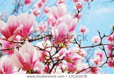 Foto stock: Belo · magnólia · flor · primavera · tempo · branco