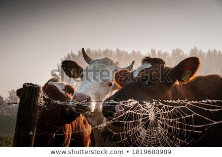 коров · пейзаж · белый · черный · трава · облака - Сток-фото © ivonnewierink