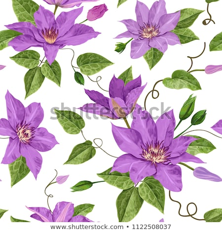 purple blooming clematis stock photo © simply