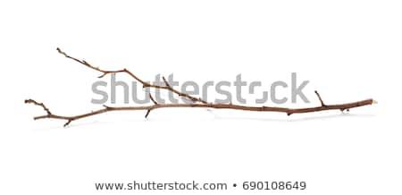 száraz · ágak · makró · kép · vékony · fenyő - stock fotó © pressmaster