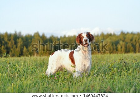 Irish red and white setter pointing Stock photo © Ximinez