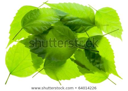 kleine · groep · hoop · chaos · groene · bladeren · geïsoleerd · witte - stockfoto © vavlt