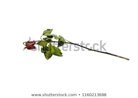 Сток-фото: букет · роз · цветы · темно · свадьба · пару