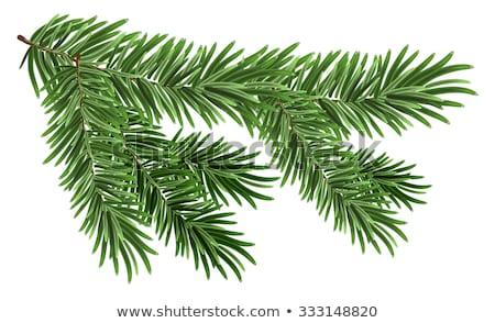 vert · luxuriante · épinette · branche · sapin · isolé - photo stock © orensila