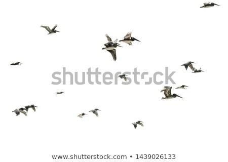 Pelican Flock Stock photo © THP