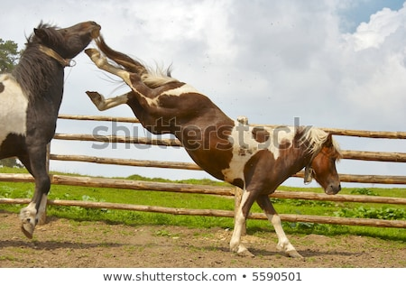 Stock photo: Stallion and mare mate on the field