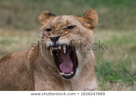 Wild Cats. White Tiger Stock photo © ConceptCafe