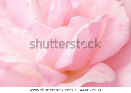 Sweet petals. Stock photo © Fisher