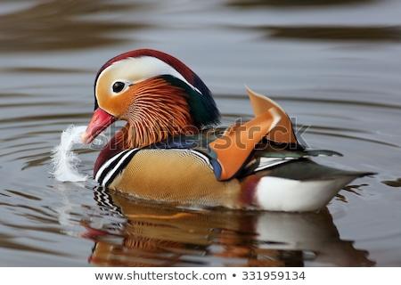 Stock fotó: Kacsa · poszter · mandarin · úszik · folyó · erdő
