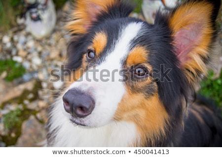 Бордер колли собака камеры трава портрет молодые Сток-фото © simoneeman