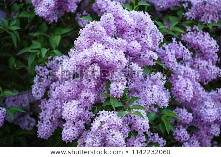 ライラック · 紫色 · 小枝 · マクロ · 極端な · クローズアップ - ストックフォト © cosma