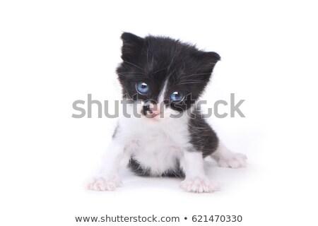 Cute Baby Tuxedo Style Kitten On White Background Stock photo © tobkatrina