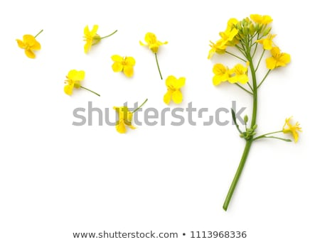 rapeseed canola flower stock photo © stevanovicigor