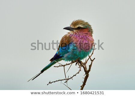 Lilac-breasted roller on a branch. Stock photo © simoneeman