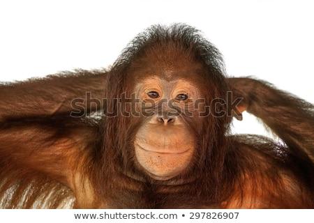 Marrón mono cara feliz ilustración feliz arte Foto stock © bluering