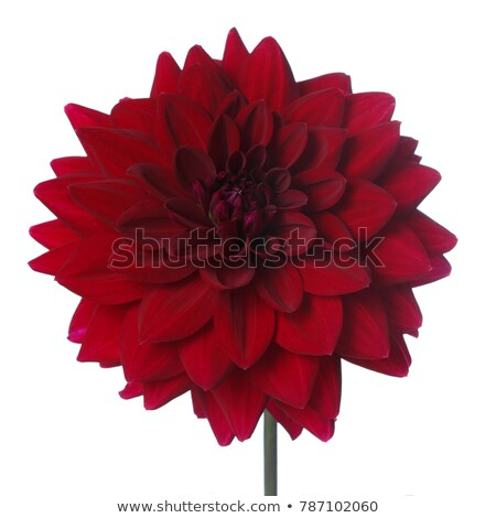 closeup shot of red dahlia flower stock photo © nobilior
