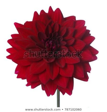 Stock photo: Closeup shot of red dahlia flower