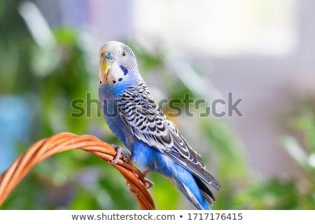 Niebieski papużka falista shot Zdjęcia stock © devon