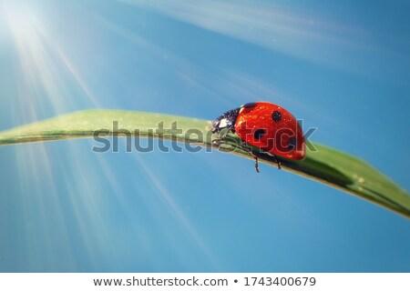 fleurs · herbe · coccinelle · isolé · blanche · résumé - photo stock © olena