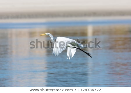 Branco garça-real água animais selvagens paisagem pássaro Foto stock © OleksandrO