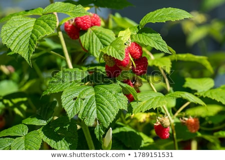 Some raspberries  Stock photo © digitalr