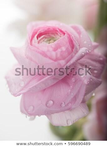 pretty woman with pink ranunculus stock photo © artjazz
