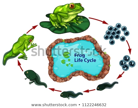 frog life cycle concept Stock photo © bluering
