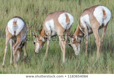 Pronghorn Antelope rear-end view Stock photo © yhelfman