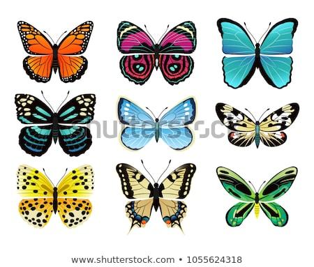 Riodinidae Butterfly Metalmark Vector Illustration Stock photo © robuart