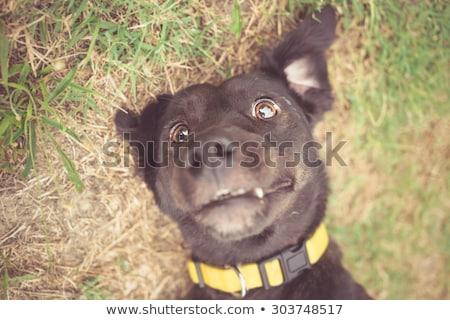 Crazy уродливые собака Cartoon иллюстрация глядя Сток-фото © cthoman