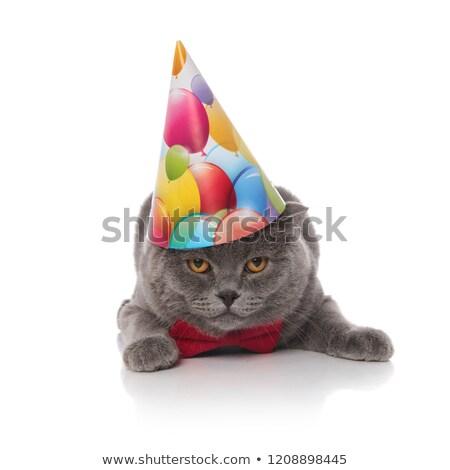 gentleman scotish fold is celebrating its birthday Stock photo © feedough
